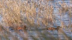 Cinamon Teal, Ducks Stock Footage