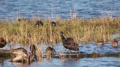 Ibis, Bird Stock Footage