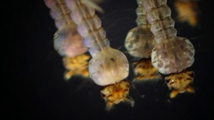 Mosquito, Larvae and Pupae in polluted water Stock Footage