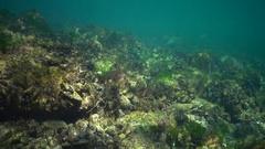 Green algae Enteromorpha on the rocks in the Black Sea Stock Footage