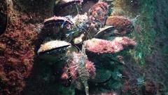 Nutrition of Prawn (Palaemon elegans). Black Sea. Ukraine. Stock Footage