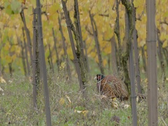 Male pheasant Crouching in the vineyard. Stock Footage