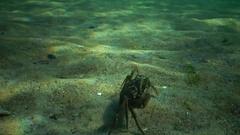 Invasive species of crab (Carcinus maenas). Black Sea. Stock Footage