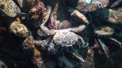 Pilumnus hirtellus, the bristly crab or hairy crab,is a species of European crab Stock Footage