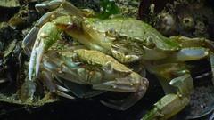 Fauna of the Black Sea. Ukraine. Swimming crab (Macropipus holsatus) Stock Footage