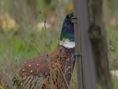 Close-up Male pheasant walking in the vineyard. Stock Footage