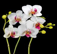 Blooming branches white and red orchid flower (phalaenopsis) with bud is  i.. Stock Photos