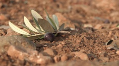 Black olives falling to the ground - 4k - close-up Stock Footage