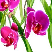 Blooming violet orchid with bandlet and green leaves of ficus is isolated o.. Stock Photos