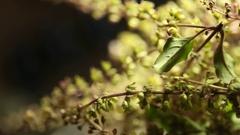 Close up Ocimum tenuiflorum plant Stock Footage