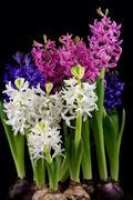 Hyacinth pearl flowers Stock Photos