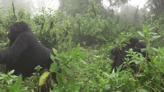 Mountain gorilla escapes from tourists Stock Footage