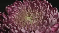 Opening Chrysanthemum  - 25FPS PAL Stock Footage