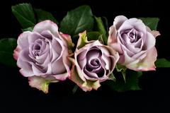 Song of roses Stock Photos