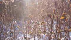 Winter scene .Frozenned flower .pine forest and sunset Stock Footage