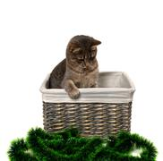 Gray cat sitting in wicker basket and looking down on Christmas tinsel Stock Photos