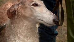 Russian Greyhound closeup.  Stock Footage