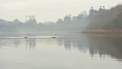 Swan Lake Misty Morning Stock Footage