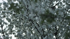 Fruit tree blooming period Stock Footage