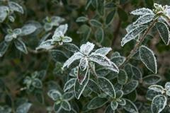 Frozen leaves of a plant in winter Stock Photos