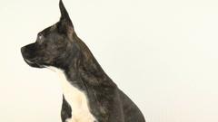 Cute Puppy french bulldog eating banana. 4k video Stock Footage