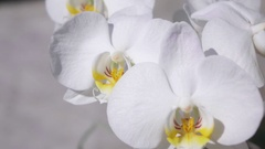 CLOSE UP: Amazingly fresh white flowering orchid with multiple small blossoms Stock Footage