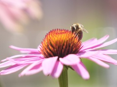 SLOW MOTION CLOSE UP: Bee collecting honey and pollen from blossoming flower Stock Footage