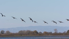 White-fronted Geese In Flight Stock Footage