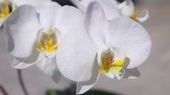 MACRO DOF: Detail of sparkling snowwhite flowering orchid with many blossoms Stock Footage