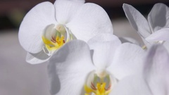 MACRO DOF: Sparkling white flowering orchid with many small beautiful blossoms Stock Footage