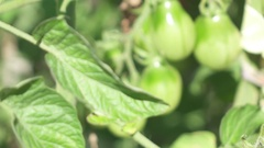MACRO: Young luxuriant tomato plant, hairy stalks and tight shining fruit skin Stock Footage