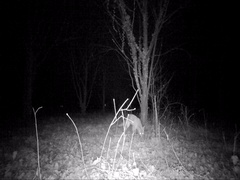 Fox in the night smells the ground while hunting Stock Footage