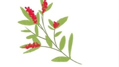 Summer leaves and berries red mountain ash.  Stock Footage