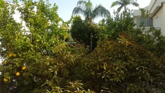 Overgrown garden with lemon trees between houses Stock Footage