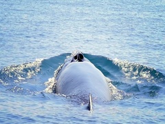 Large Blue Whale breathing air on sea water surface and dives into ocean  Stock Footage