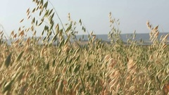 Ears Of Oat, Golden Farm Seeds, Landscape Stock Footage