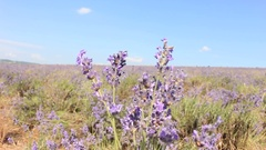 Beautiful Lavender Field in the Wind Stock Footage