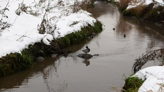 Several ducks at polluted creek, early winter time, snow at ground banks Stock Footage