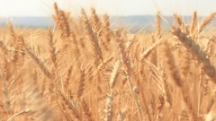 Beautiful Ears Of Wheat, Golden Farm Seeds, Landscape Stock Footage