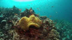 Clownfish in a sea anemone. 4k Stock Footage