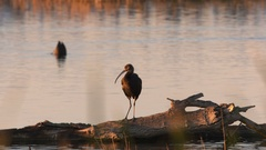 Ibis, Bird, Pond Stock Footage