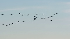Cranes, Sandhill Cranes, Birds, Flying Stock Footage