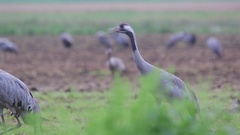 Common Crane. Scream of couple. Song. Stock Footage