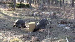 North American Wild Turkeys Feeding a Supplemental Grain Feed Block Stock Footage