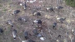 Aerial Shot of Large Wild Turkey Bird Flock in Pine Forest Stock Footage