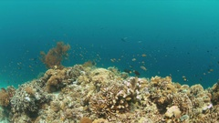 Coral reef with Anthias and Damselfishes.  4k Stock Footage