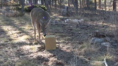 Small Spike Buck White-tailed Deer at Supplemental Feed Bait Block Stock Footage