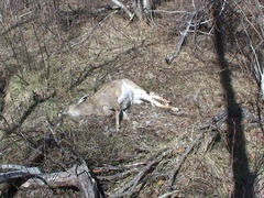 Dead Injured Wounded White-tailed Deer in Forest with Flies Stock Footage