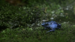Blue poisonous frog Stock Footage