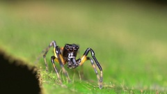 Jumping spider (family Salticidae) on a leaf in the rainforest understory Stock Footage